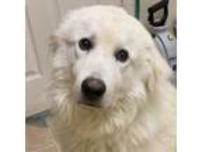 Adopt Nimbus a White Great Pyrenees / Mixed dog in Waxahachie, TX (25289723)