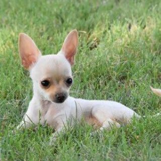 LOOKING FOR A SMALL BREED PUPPY!