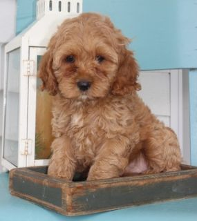 Cock-A-Poo PUPPY FOR SALE ADN-96375 - Beautiful Cockapoo Puppies