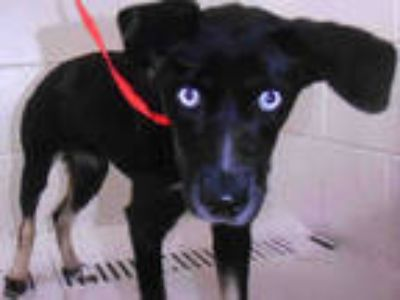 Adopt LUNA a Black Husky / Mixed dog in Winter Haven, FL (25816222)