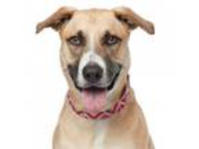 Adopt Addie a Tan/Yellow/Fawn - with Black American Pit Bull Terrier / Labrador