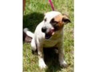 Adopt Deejay Paws a Terrier, Cattle Dog
