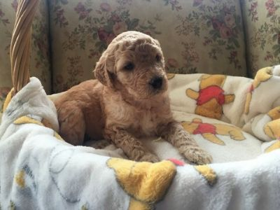 Dogs for Adoption Classified Ads near Kingsport, Tennessee