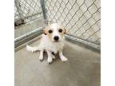 Adopt Jake a Tan/Yellow/Fawn - with White Terrier (Unknown Type