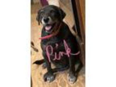 Adopt Pink a Labrador Retriever