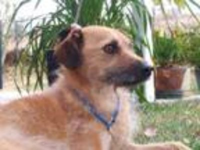 Adopt Tara a Terrier, Wirehaired Terrier