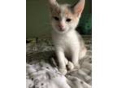 Adopt Spring Kitten: Blossom a Domestic Shorthair cat in Washington