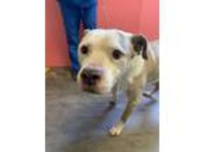 Adopt GRAND PUP a Pit Bull Terrier, Mixed Breed