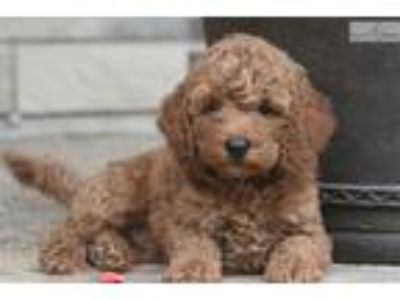 Miniature Goldendoodle (15-25 pounds as an adult)