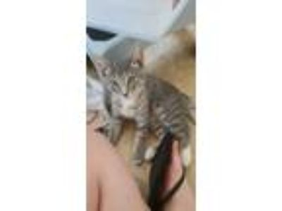 Adopt Kitty a Gray, Blue or Silver Tabby Domestic Shorthair / Mixed cat in