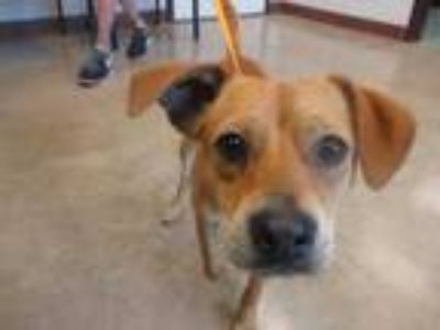 Adopt Miles a Red/Golden/Orange/Chestnut Beagle / Mixed dog in Irving