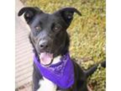 Adopt maddie a Black Border Collie dog in League City, TX (25273468)