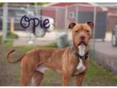 Adopt Opie a Brindle - with White Boxer dog in La Crosse, WI (22853900)
