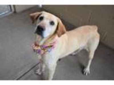 Adopt Becky a Tan/Yellow/Fawn Labrador Retriever / Mixed dog in McKinney