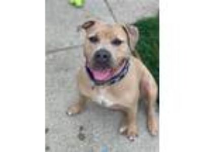 Adopt Lucinda a Tan/Yellow/Fawn - with White American Pit Bull Terrier / Mixed