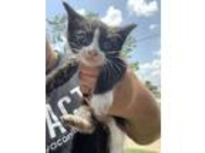 Adopt Frodo a All Black Domestic Shorthair / Domestic Shorthair / Mixed cat in