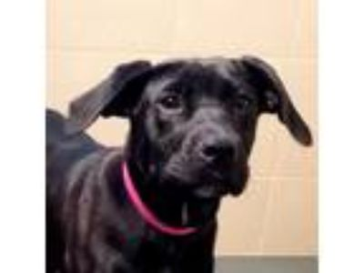 Adopt Scarlet a Black Labrador Retriever dog in Madisonville, TN (25284667)