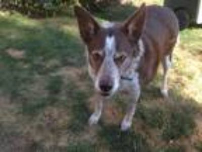 Adopt Sue a Brown/Chocolate - with White Australian Kelpie / Border Collie /