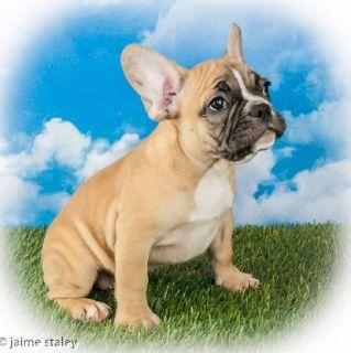 Bif Male French Bulldog