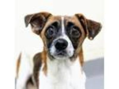 Adopt Dusty a Rat Terrier, Mixed Breed