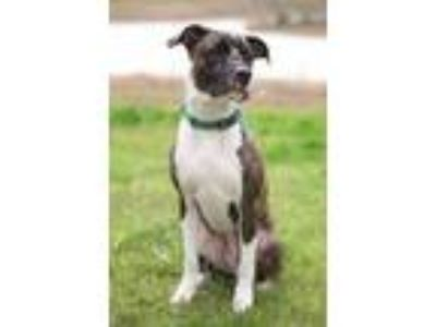 Adopt Ollie a Brindle American Pit Bull Terrier / Mixed dog in Houston