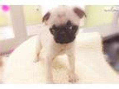 Pug $950 (Empire Puppies [phone removed])