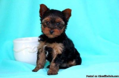 VBNDD CUTE YORKSHIRE TERRIER PUPPIES AVAILABLE FOR SALE Text: (4O4) 692 XX 3714