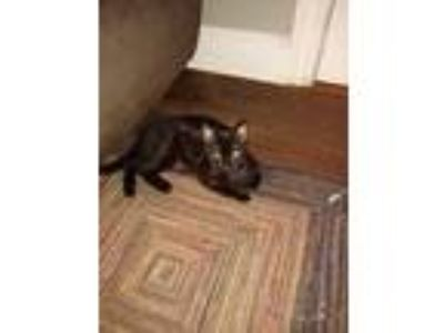 Adopt Macie a All Black American Shorthair (medium coat) cat in Hicksville