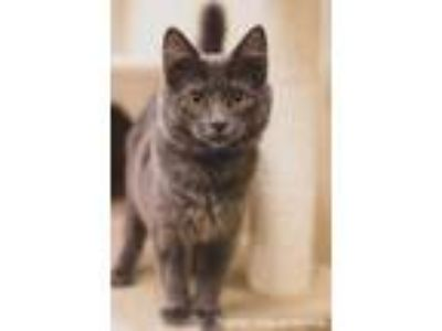 Adopt Eddie a Russian Blue cat in Fresno, CA (25680432)