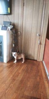 English Bulldog PUPPY FOR SALE ADN-108552 - Red