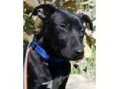 Adopt Timmy 3-11-19 a Black Labrador Retriever / Mixed dog in Bulverde