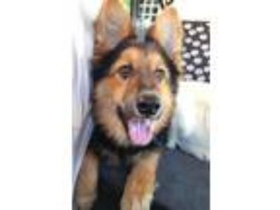 Adopt Kira a Tan/Yellow/Fawn - with Black German Shepherd Dog / Sheltie