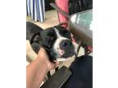 Adopt Dickon a Black - with White Pit Bull Terrier dog in Norristown