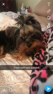 Yorkshire Terrier PUPPY FOR SALE ADN-101934 - Tiny Yorkshire terrier for stud