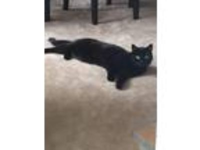Adopt Kit Kat a All Black Domestic Shorthair / Mixed cat in Arlington