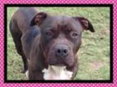 Adopt RUBY RED a Pit Bull Terrier