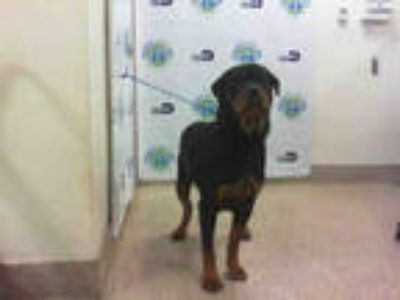 Adopt HERA a Black - with Tan, Yellow or Fawn Rottweiler / Mixed dog in Doral