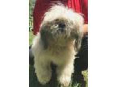Adopt Pepper Neglected Needs TLC and LOVE a Pekingese / Mixed dog in Rowayton