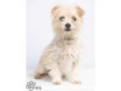 Adopt Ted a Tan/Yellow/Fawn Terrier (Unknown Type, Small) / Shih Tzu / Mixed dog