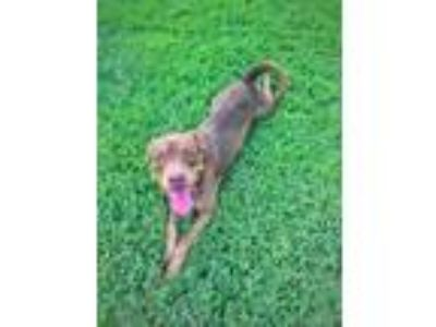 Adopt Mike Bay City a Brown/Chocolate - with Tan Pit Bull Terrier / Rottweiler /