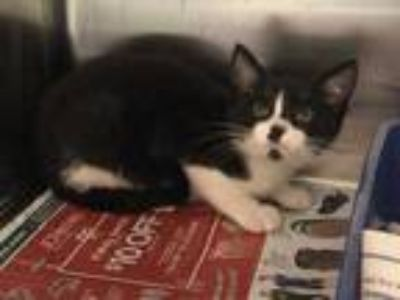 Adopt 58121 Toby a All Black Domestic Shorthair / Domestic Shorthair / Mixed cat