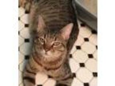 Adopt Lawrence a Tabby