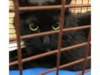 Adopt Belladonna a Domestic Mediumhair / Mixed cat in Spokane Valley