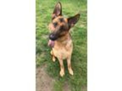 Adopt Apache a Brown/Chocolate - with Black German Shepherd Dog / Mixed dog in