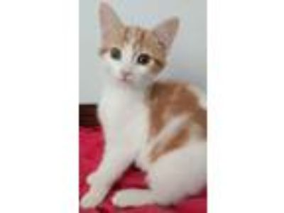 Adopt Buttercup a White Domestic Shorthair / Mixed cat in Louisa, VA (25653458)