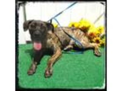Adopt MERCEDES a Plott Hound, Labrador Retriever