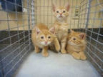 Adopt JANELLE a Orange or Red Tabby Domestic Shorthair / Mixed (short coat) cat