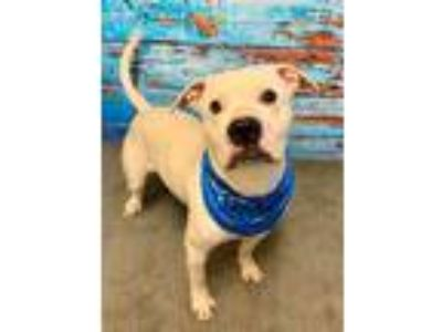 Adopt EINSTEIN a White Terrier (Unknown Type, Medium) / Pit Bull Terrier / Mixed