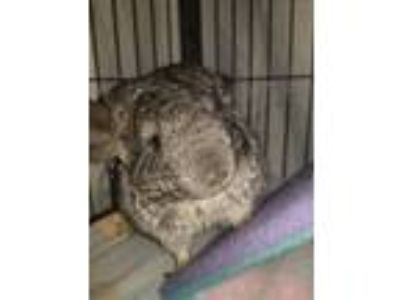 Adopt Nellie a Silver or Gray Chinchilla small animal in Lindenhurst