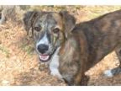 Adopt QUINN a Brindle - with White Border Collie / Mixed dog in Panama City
